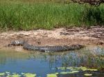 Tijdens de Yellow Water Cruise zie je veel zoetwater krokodillen, zwemmend bijna onzichtbaar in het water of zonnebadend op de oevers.