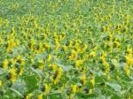 Overal langs het Canal du Midi zie je uitgestrekte velden met zonnebloemen en wijngaarden.