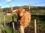Hamish McKay Denovan is de bekendste stier in Schotland.