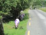 Een speciaal ras van purperen schapen die de wegen van de Gap of Dunloo onveilig maken.