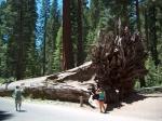 De mammoetboom of reuzensequoia kan tot 80 m hoog worden en een omtrek hebben van 25m. Hij behoort tot de cipres familie.