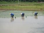 Druk bezig met het planten van de rijst (3 oogsten per jaar)