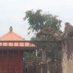 De apen zijn koning in Lopburi. Ieder jaar wordt in augustus zelfs een apenbuffet georganiseerd.