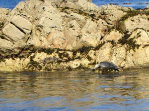 Zonnebadende zeehonden aan de Sept Îles