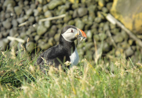 Flora en fauna van IJsland