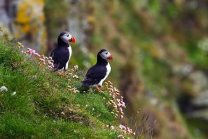 Pagegaaiduikers, hét icoon van IJsland