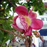 De bloem van Boeddha bloeit op de Bodhiboom, die als een heilige boom beschouwd wordt.