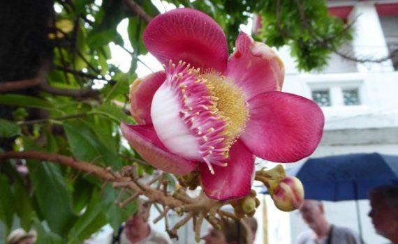 De 'bloem van Boeddha' bloeit op de Bodhiboom, die als een heilige boom beschouwd wordt.